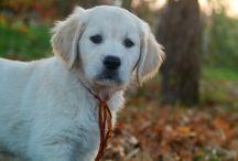 Our Dogs - Golden Retriever / Golden Retriever from www.aliceingoldenland.com, our kennel. Cani, Golden Retriever
