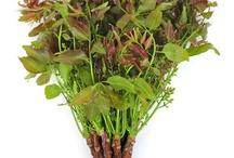 tanaman /trees herbal