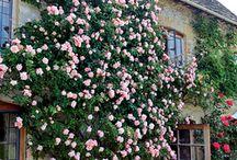 2014 rose