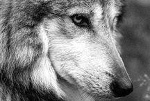 lobos y LTV