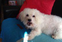 Bichon frise / Dogs