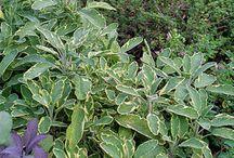 herbs / by Irene Cadenhead
