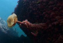 Una foto submarina del cambio climático / Los ambientes submarinos cercanos a la costa vasca sufren el declive de las algas Gelidium