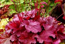Heuchera the best evergreen shade plant  / It really is the best evergreen perennial for shade. I love them so much I wrote about them every day for a full year. See it at www.mygardennursery.com