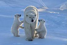 Polar Bears / by Julie Zergott
