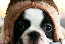 Boston Terrier - Carter