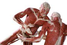 Skinned body