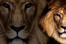Lions and Tigers Facebook Covers