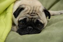 pug life / by Breanne Morris