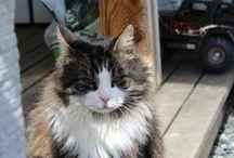Tigergutt / My name is tigergutt, im an 13 year old norwegian forest cat:)