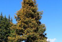 Nadelbäume / Nadelbäume