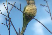 Monk or Quaker Parakeets (Tuckers)