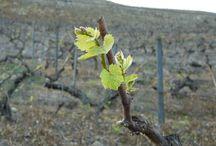 ENJOY OUR OLD VINES / Old Vines.