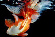 Gold fish/Золотая рыбка