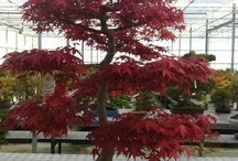 Japanese maple bonsai / by Barrie Birch