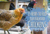 kycklingmat