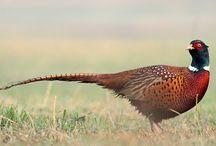 Birds - Pheasant