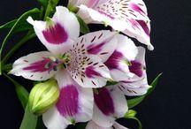 Plants | Alstroemeriaceae