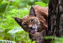 Lynx / Luchs