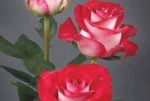 resimler / Çiçek resimleri