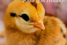 Chicken Keeping / Get pro tips and insider goods about keeping chickens!