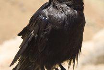 Ref: Crows / Ravens
