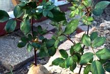 Pflanzenvermehrung / Pflanzenvermehrung