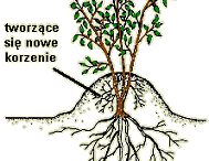 rozmnażanie krzewów przez odkłady.itd