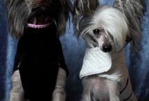 Chinese crested dogs