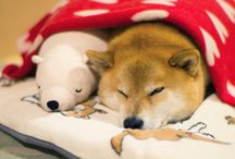 Cute Puppy Maru Sleeps With His Teddy / Cute Puppy Dog Maru and his teddy bear. The cutest puppy  dog!