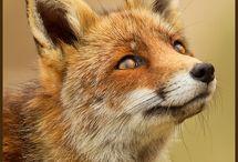 Foxy  / by Desi Stephens