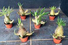 Tropical plants in cultivation