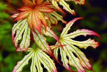 Acer - Maple