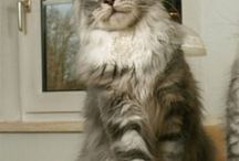 Maine Coon - Blue Silver Blotched & White / #MaineCoon #BlueSilver&White #Blue #Silver Blotched #White #cats