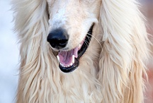 Animals-Dogs-Afghan Hounds / One of my favorite breeds. I had two. / by Ellary Branden