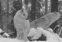 wolves wilki