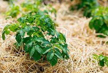Huerta / Aquí encontraras cuidados para el huerto y huerto urbano, tratamientos, abonado, preparar plantas y el terreno, organización de cultivos y mucho mas.