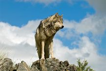 Fact Sheets / Websites that contain general information about wolves.