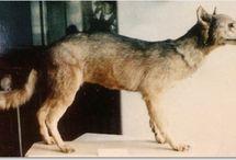 Especies extintas de lobo. / Hay especies de lobos que desgraciadamente no han llegado hasta nuestros días, pero que son una parte fundamental en la apariencia y el comportamiento de los lobos actuales.En este tablero vamos a conocer un poco más a las especies de lobos extintas más destacadas.