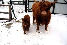 krávy / stránky s obrázky krav