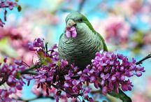 Myopsitta / Il genere myopsitta comprende una sola specie di pappagallo, il famoso parrocchetto monaco, che a sua volta si divide in quattro sottospecie. Questo pappagallo originario del Sus America, è estremamente diffuso in moltissime città europee e del Nordamerica. E' diffuso in cattività dove viene spesso allevato a mano come pet.