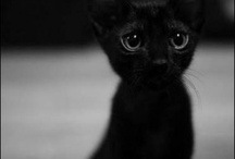 Le Chat / by Nox