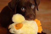 Labrador-valper