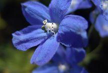 Na niebiesko / Rośliny w ogrodzie i na tarasie