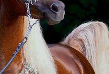 Arabian / Arabian horses