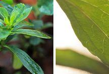 La stevia / Dalla natura a zero calorie.