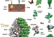 English - botanical