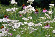 Seaside-herbaceous-plants