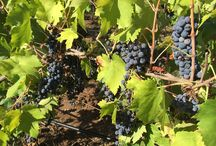 "Grape harvest 2015 / Want to visit wine country?  The best time to visit is surely during harvest for 3 reasons: the weather is a little cooler, the grapes are ripe and everywhere is bustling with activity.  A ""vendemmia"" is one of the most fascinating experiences you can enjoy in Puglia. It is a wonderful way to learn a lot about the local wine & food traditions but also about the local culture. The atmosphere of a working winery is something definitely unique!"