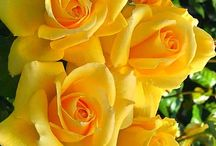 Roses yellow